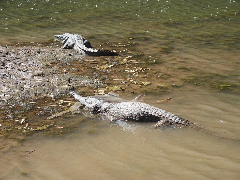 A freshwater crocodile preying on a juvenile freshwater sawfish