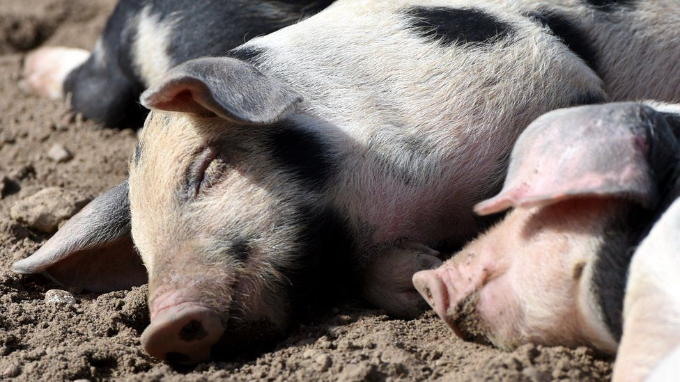 File photo: Pigs sleeping
