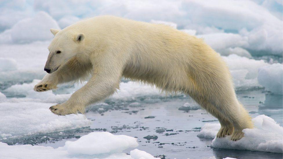 A polar bear jumping on to an ice floe