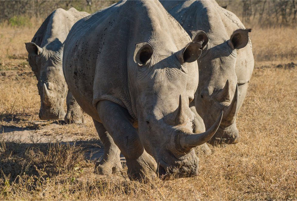 A group of Zululand white rhinos