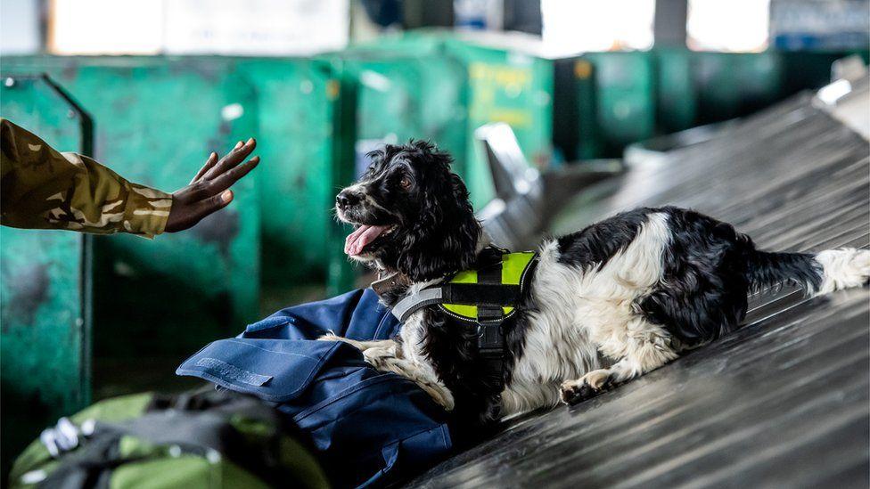 A springer spaniel on a conveyor belt at Jomo Kenyatta International Airport looking at the hand of a handler - Nairobi, Kenya