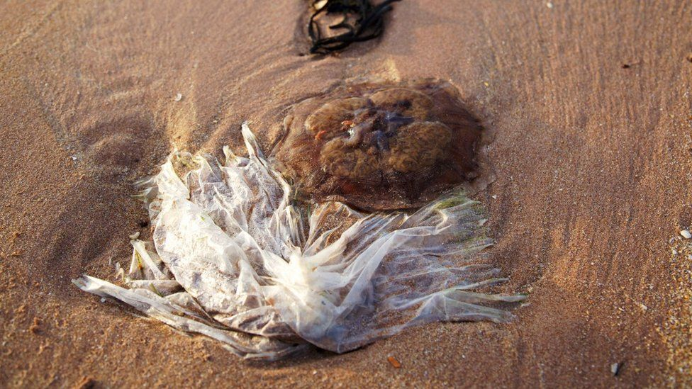 A plastic bags lies next to a jellyfish on the beach