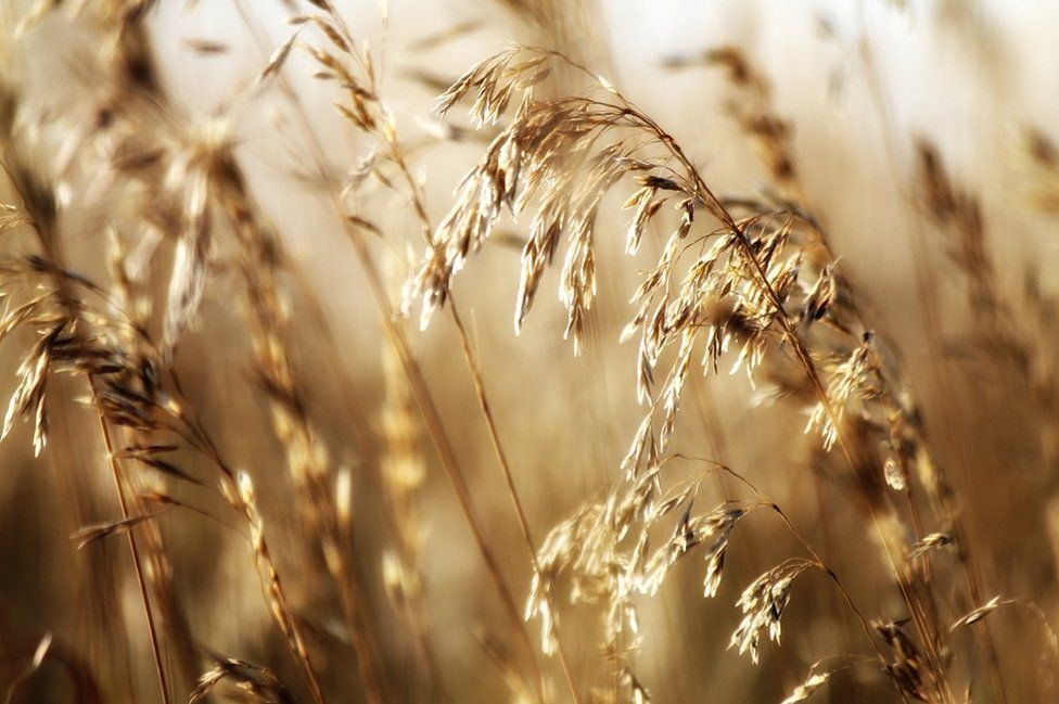 Golden grass in the sun