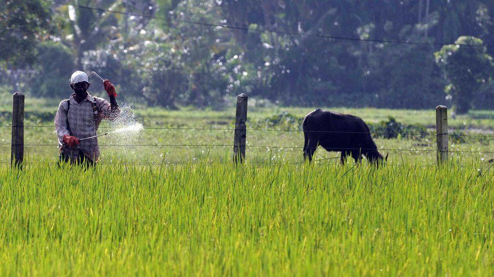 A Sri Lankan farmer sprays pesticides in a field