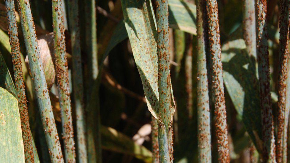 Stem rust infecting wheat