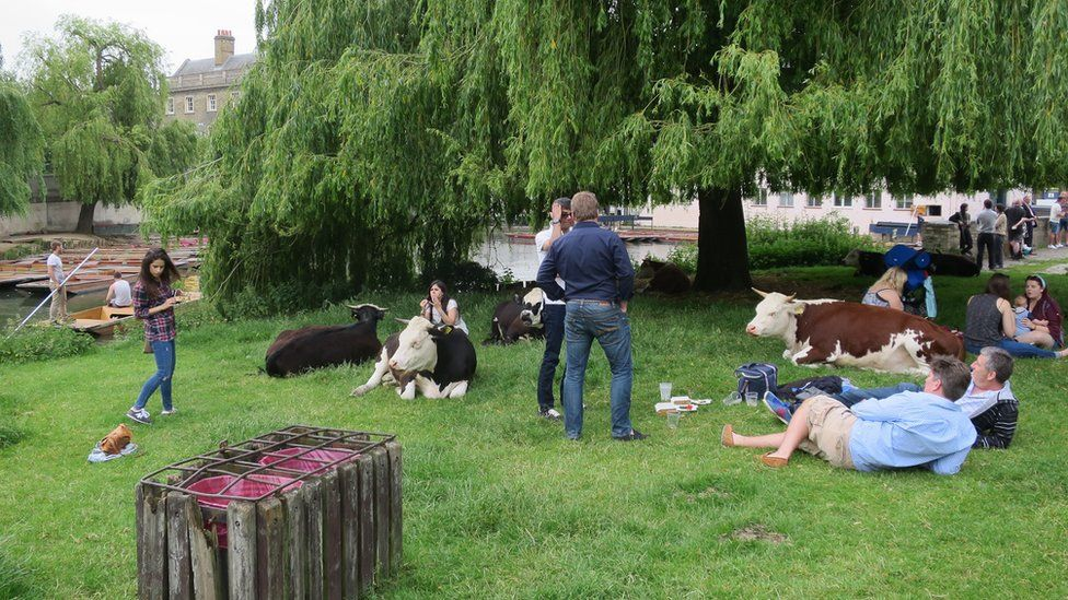 Cattle and people sharing common land at the Mill Pond, Cambridge