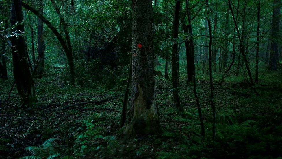A marked tree grows in Bialowieza Forest