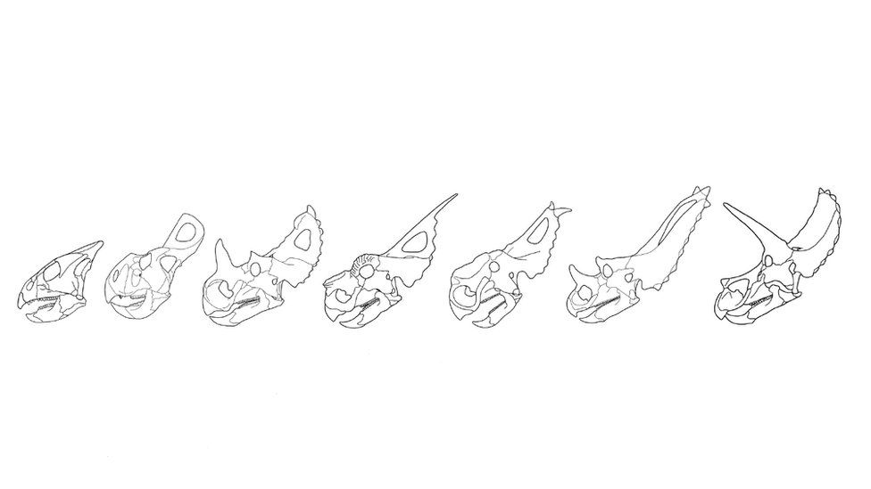 Line drawings of ceratopsian skulls showing various frills and horns