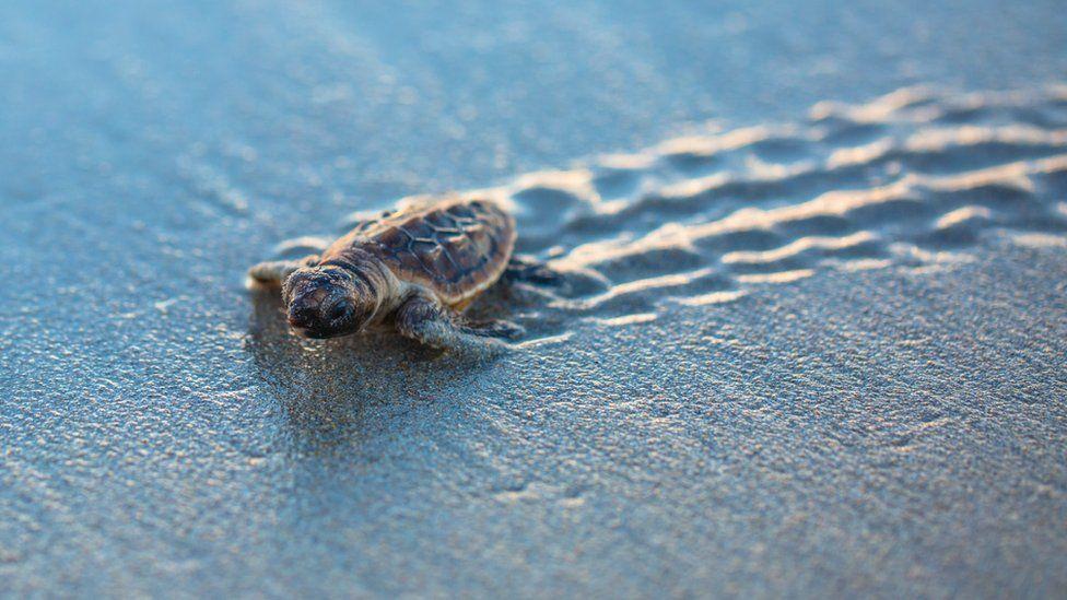 juvenile sea turtle