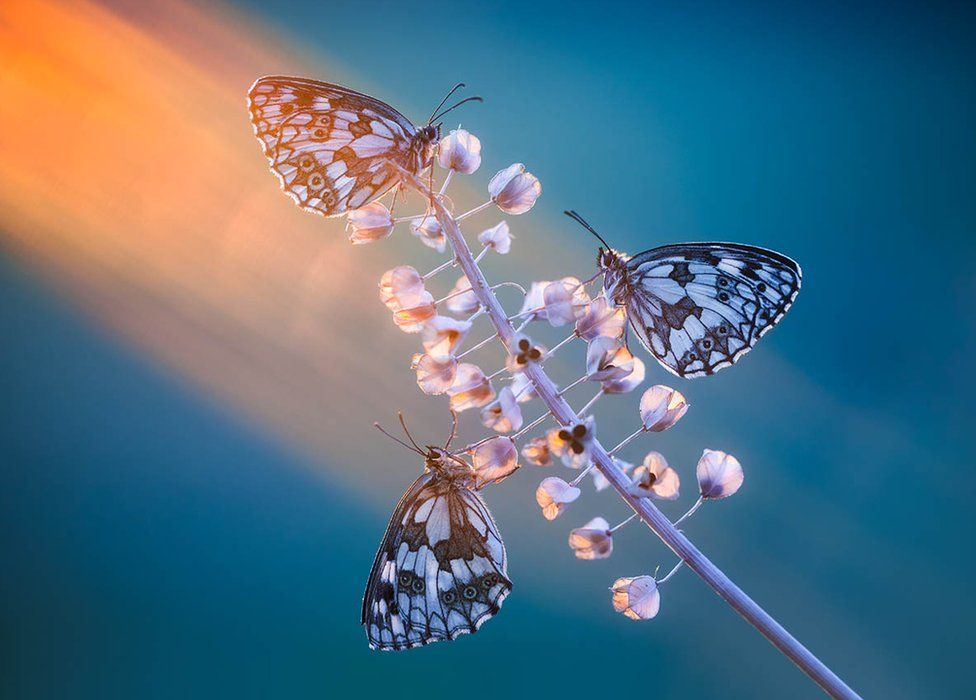 Three white and black butterflies on a sunlit stem