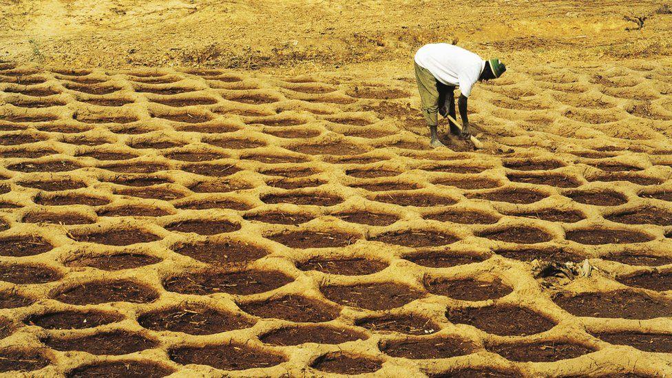 San (Bushman) farmer practicing a form of primitive agriculture, Mali.