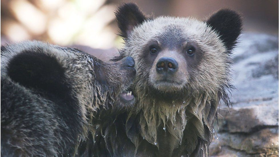 Grizzly bear cubs play