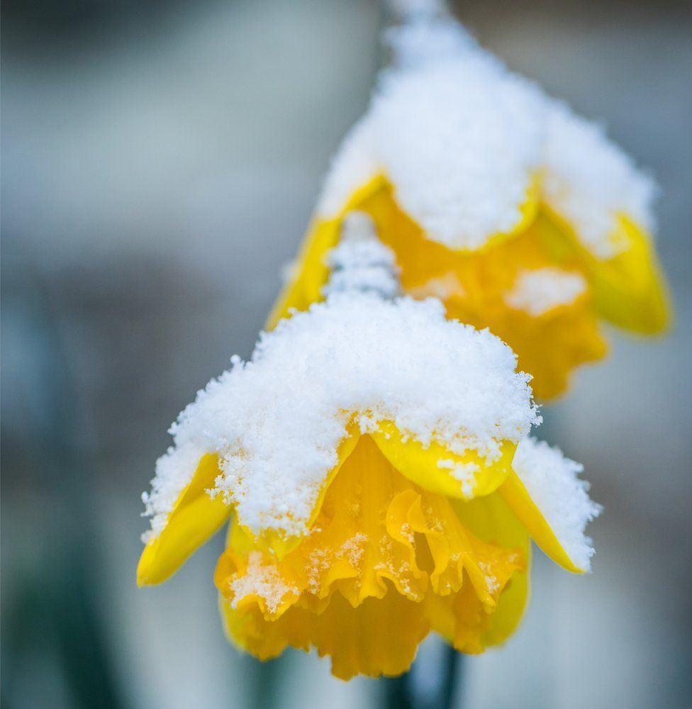 Snow covered daffodils