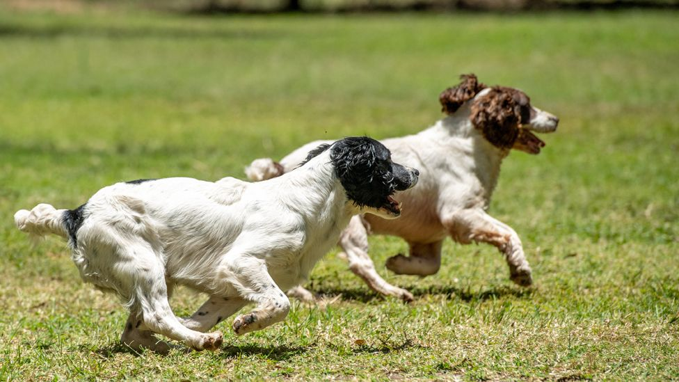 Two springer spaniels running during training in Arusha, Tanzania