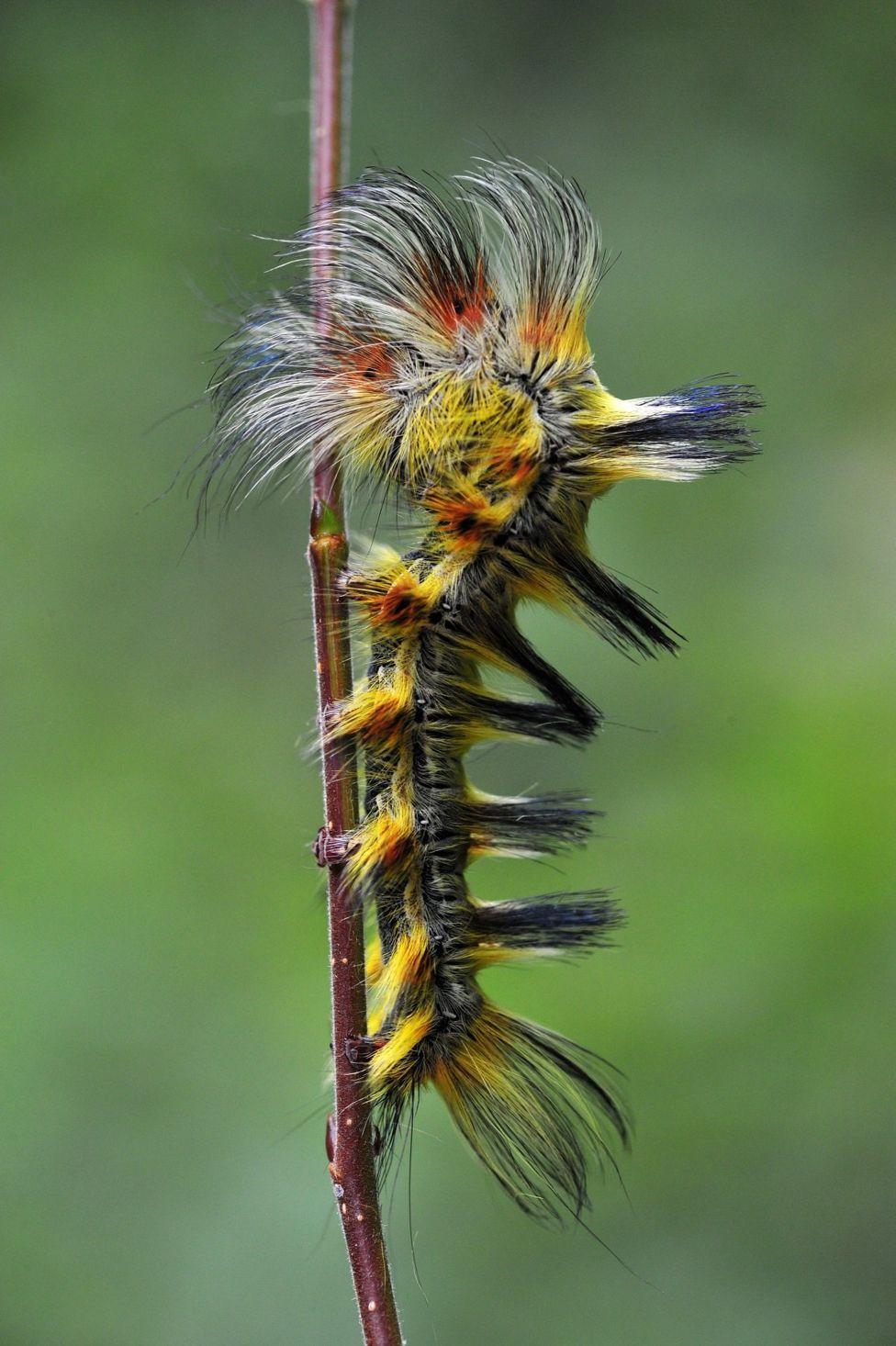 Una oruga con pelo largo amarillo y negro.