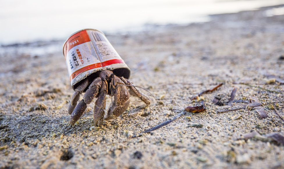 Hermit crab on Peleliu Island using a discarded can as a temporary home.