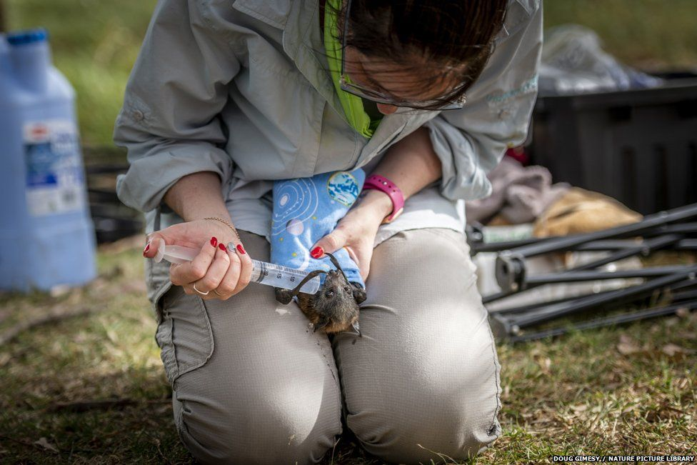 Local wildlife rescuer Kate Chamberlain gives in-filed triage to a suffering Grey-headed flying fox by providing cool fluids.