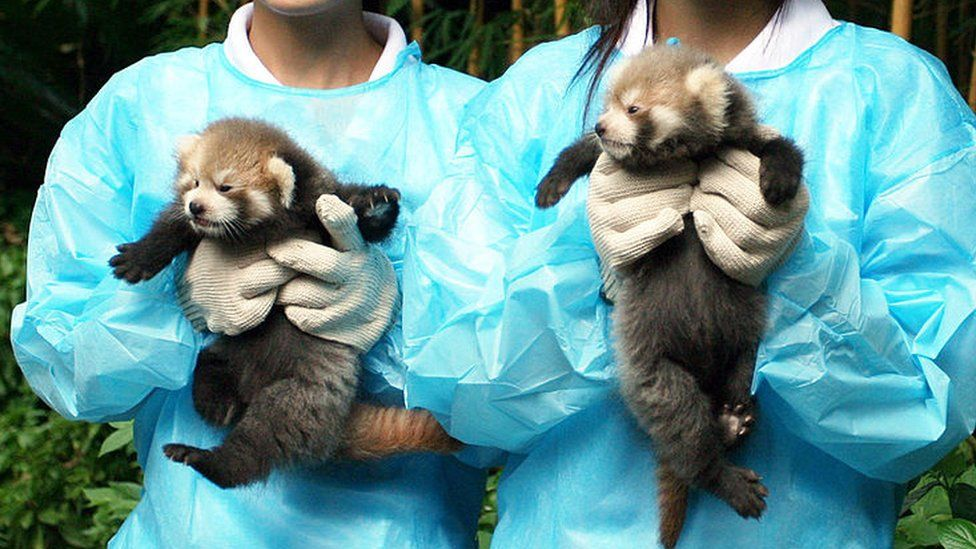 Red panda cubs reared at a zoo in China