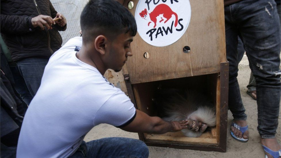 Animals moved from Rafah Zoo in the Gaza Strip by welfare group Four Paws, April 2019