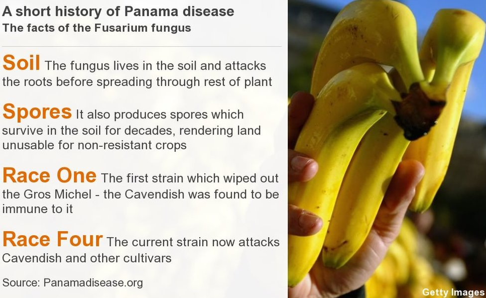 Panama disease facts