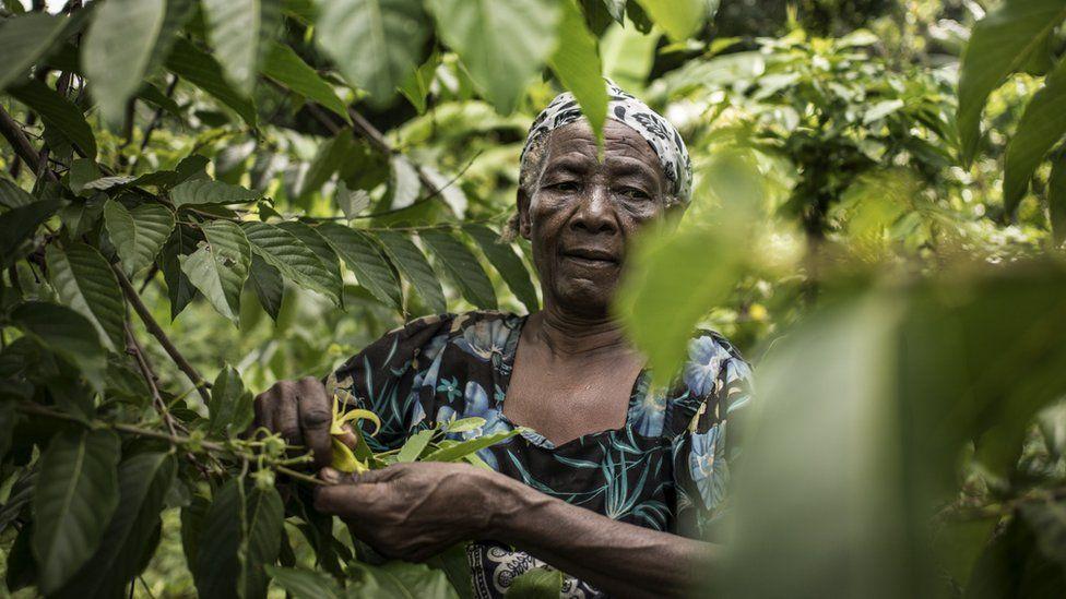 Ylang-Ylang flowers of Comoros islands