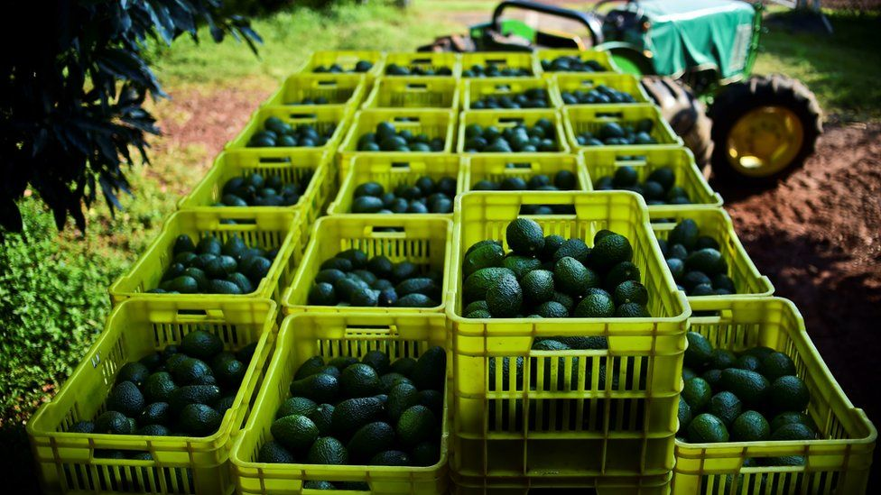 Fruit boxes with avocados are pictured during harvest at an orchard in the municipality of Uruapan, Michoacan State, Mexico, on October 19, 2016.