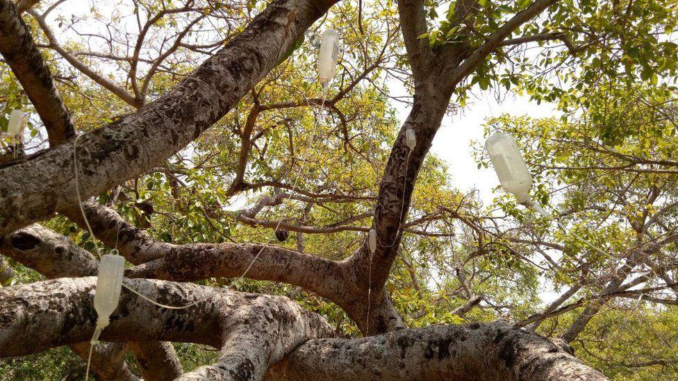 700-year-old banyan tree