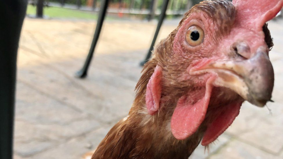 A chicken looks at the camera