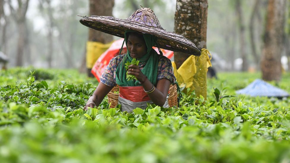 An Indian tea plantation worker picks leaves in Assam