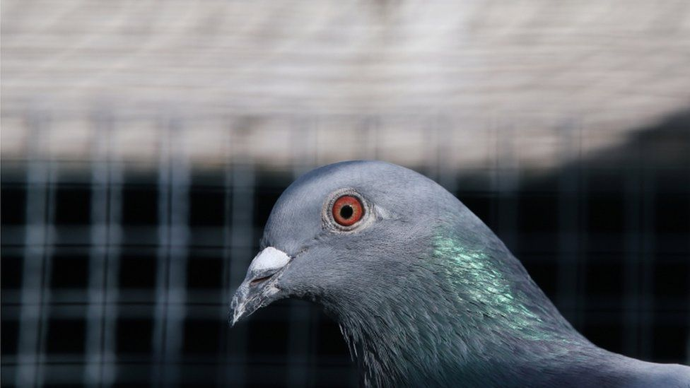Pigeon (file photo)
