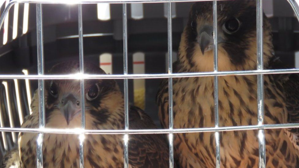 Peregrines in a cage