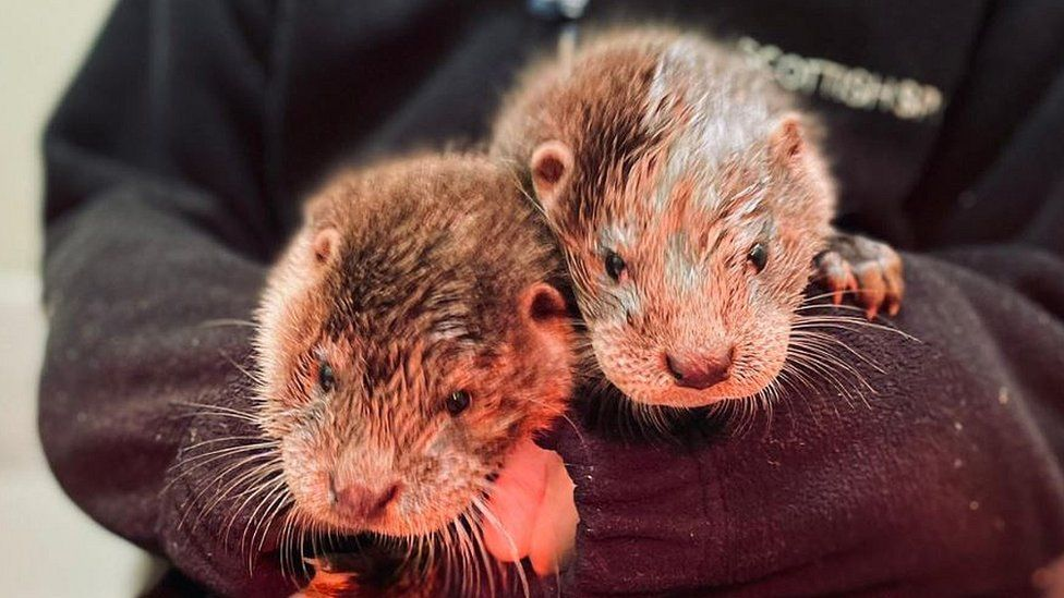 Otters Inver and Forth