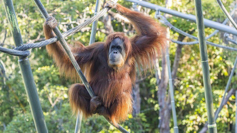 Covid-19: San Diego zoo Orang utan given experimental vaccine - BBC News