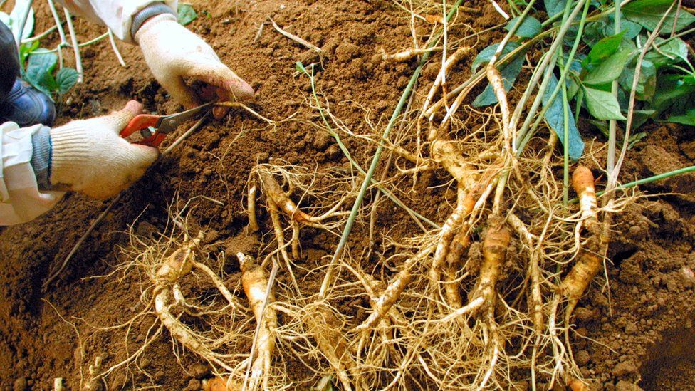 Ginseng being harvested