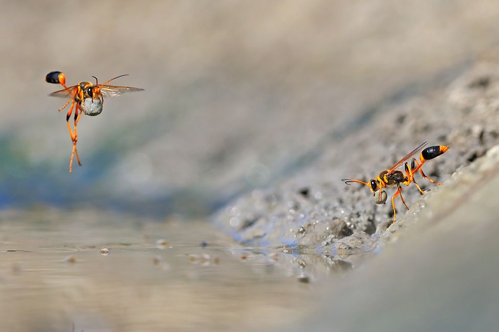 Mud-dauber wasps at Walyormouring Nature Reserve, Western Australia