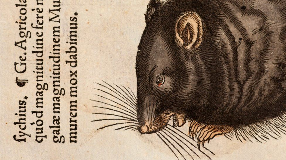 A 1551 wood cut illustration of a black rat by Conrad Gesner, a naturalist who died of plague in 1565 (SPL)