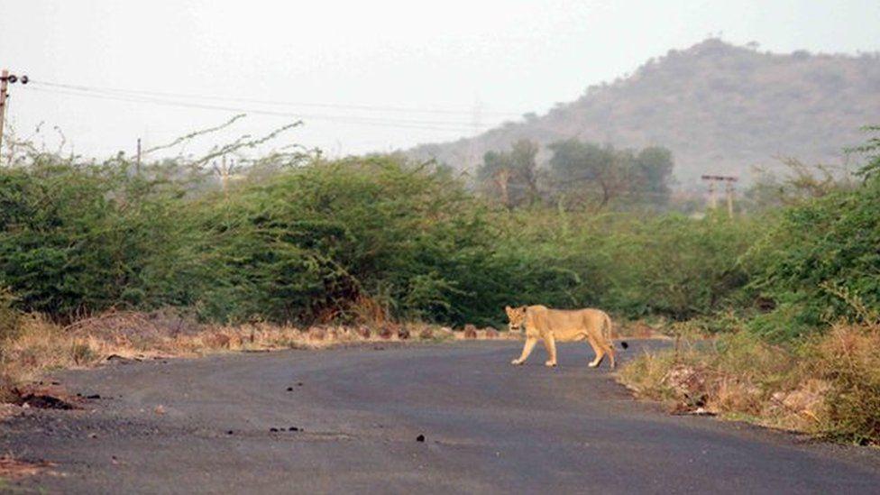 Pierderea de grăsime a crinului de leu