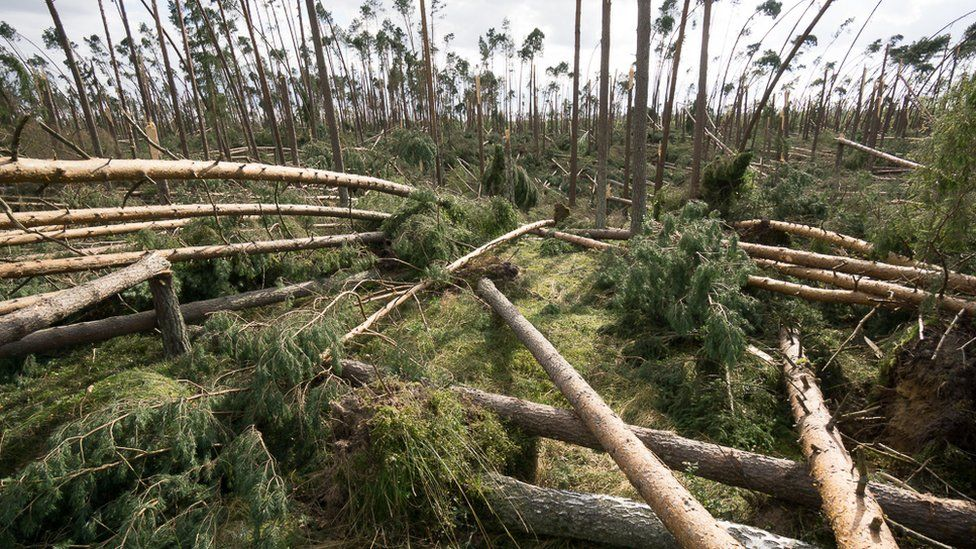 Image shows large fallen trees strewn across the forest floor