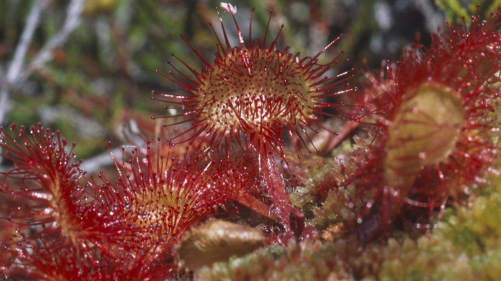 Sundew traps and digests insects