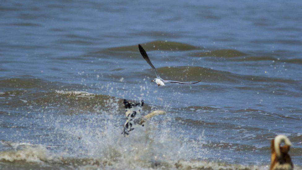 Free-ranging dogs attacking migratory gulls in Frazergunj of India