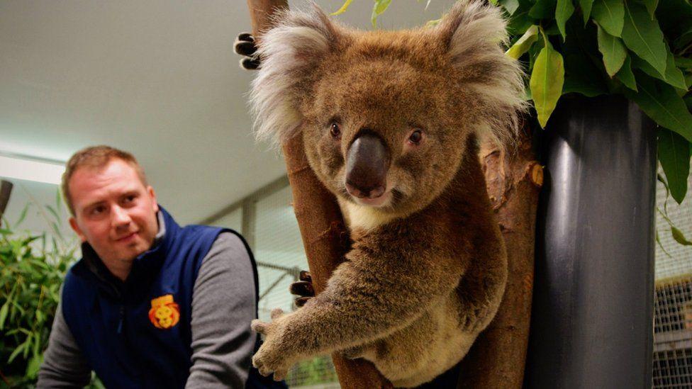 Longleat Safari Park: New Koala to boost breeding programme