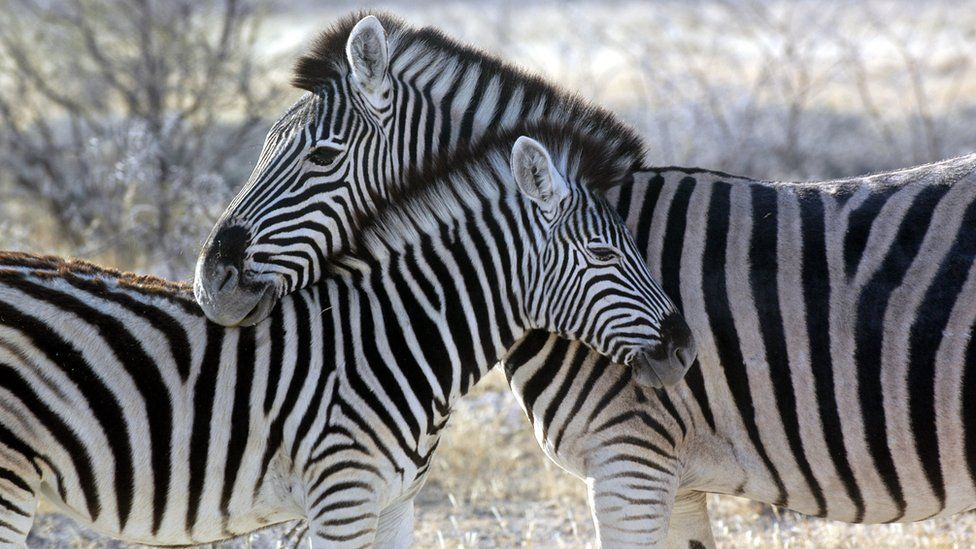 Two zebras nuzzling in Namibia