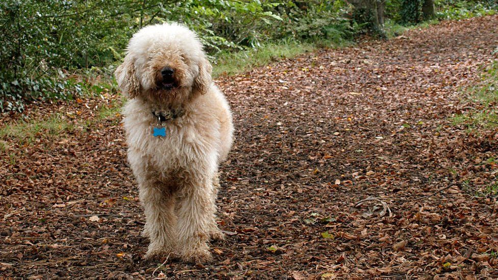 Labradoodle in forest