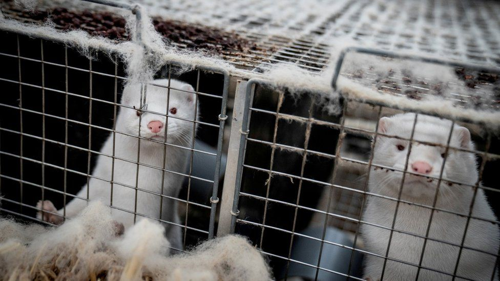 Mink are seen at a farm in Denmark, November 6, 2020.
