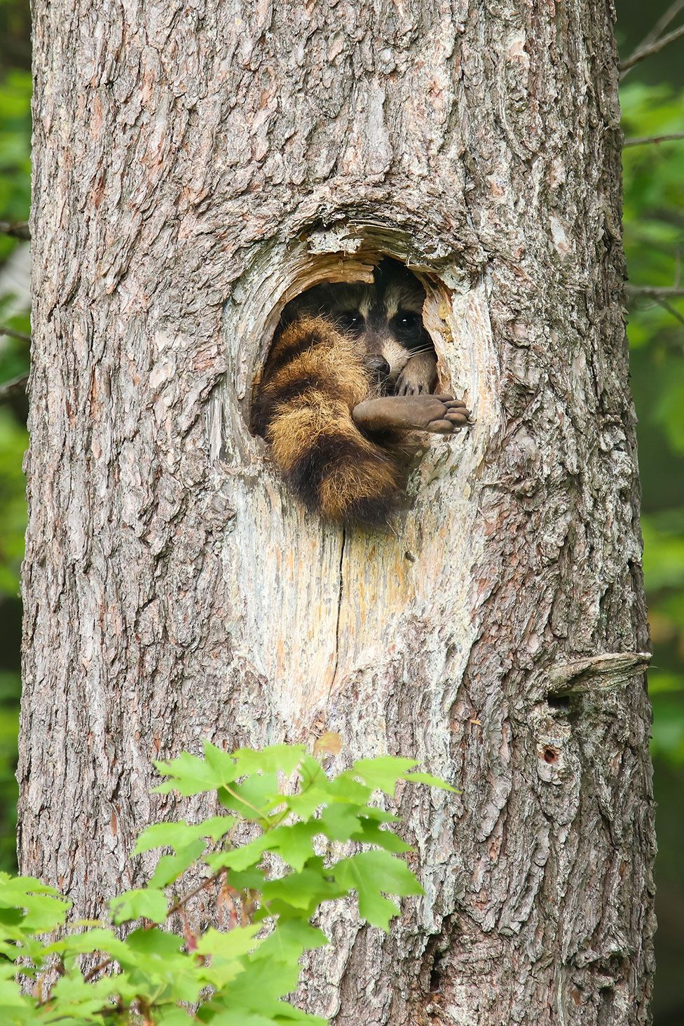 A raccoon with one foot sticking out of a tree