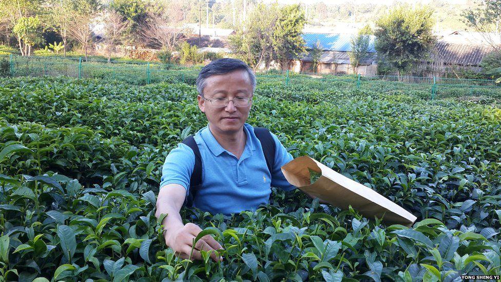 Botanist collecting tea leaves