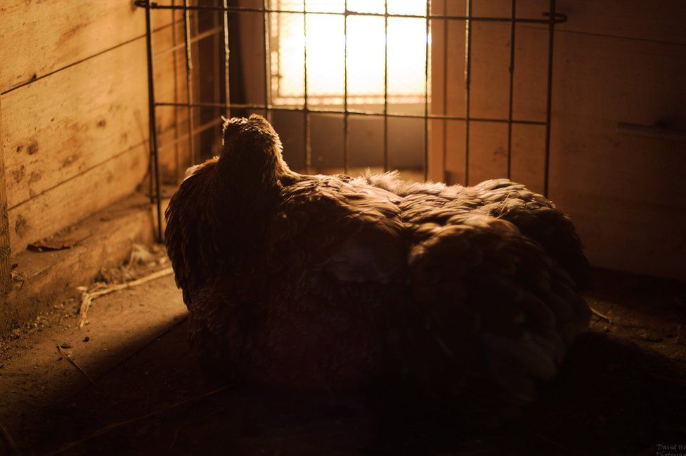 A hen sits by a heater to keep warm