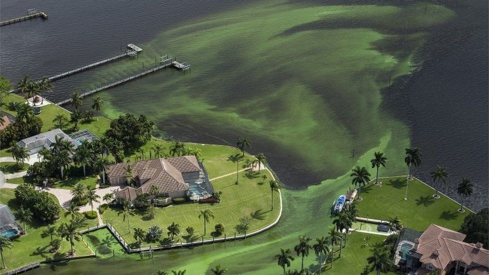 An aerial photo shows blue-green algae enveloping an area along the St. Lucie River.