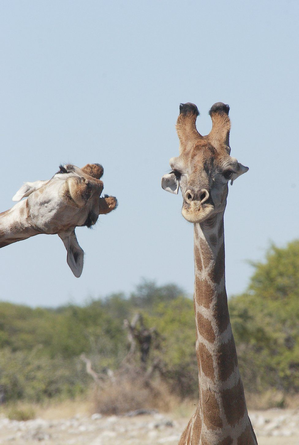 A giraffe looking sideways into the photographic frame of another giraffe