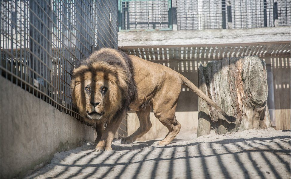 An abstract image of a lion looking withered and unhealthy in a cage in a zoo